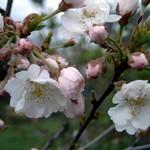 Foto Prunus subhirtella