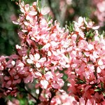 Photos Prunus tenella