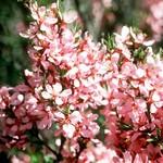 Foto Prunus tenella