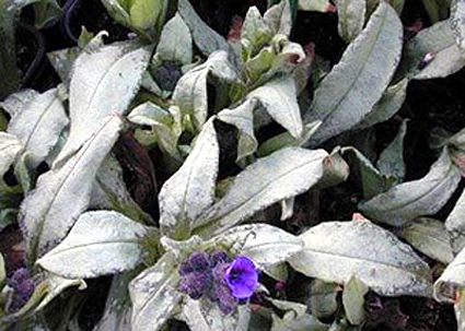 Photos Pulmonaria angustifolia -
