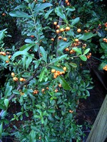 Photos Pyracantha coccinea