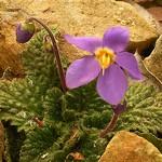 Ramonda myconi - Pyrenäen-Felsenteller