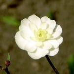 Ranunculus aconitifolius - Silber-Hahnenfuß Flore Pleno