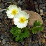 Ranunculus montana - Gletscher-Hahnenfuß