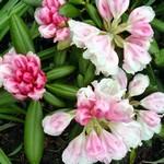 Fotos Rhododendron yakushimanum