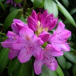 Photos Rhododendron pontica