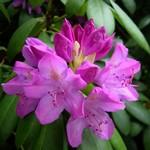 Fotos Rhododendron pontica