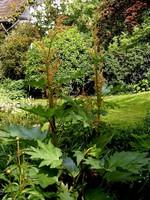 Rheum palmatum - Chinesischer Zier-Rhabarber