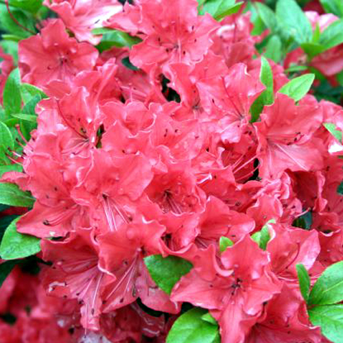 Photos Rhododendron -