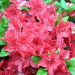 Rhododendron - Rhododendron Geisha