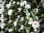 Rhododendron carolinianum - Karolina-Rhododendron Dora Amateis