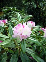 Rhododendron degronianum - Japanisches Rhododendron