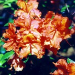 Rhododendron - Rhododendron Gibraltar