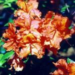 Fotos Rhododendron