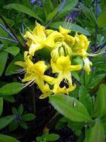 Fotos Rhododendron luteum