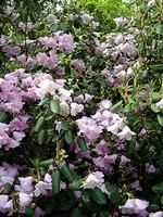 Fotos Rhododendron oreodoxa