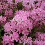 Fotos Rhododendron mollis