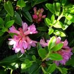 Fotos Rhododendron ferrugineum