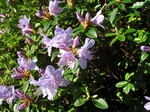 Fotos Rhododendron-Hybride