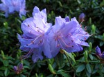 Rhododendron impeditum -
