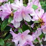 Rhododendron dauricum - Vorfrühlingsrhododendron Praecox