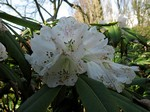 Fotos Rhododendron sutchuense