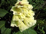Fotos Rhododendron wightii