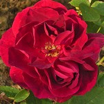 Photos Rosa