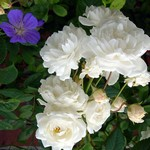 Fotos Rosa