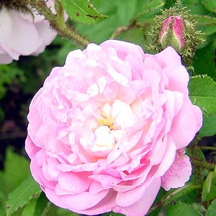 Fotos Rosa -