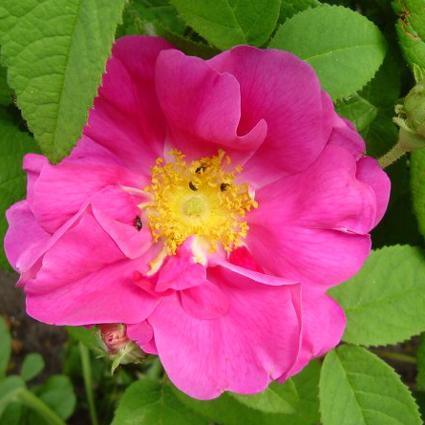 Photos Rosa gallica - French rose