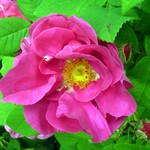 Photos Rosa officinalis