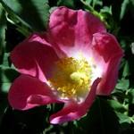 Fotos Rosa pendulina