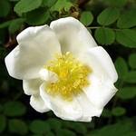 Fotos Rosa pimpinellifolia