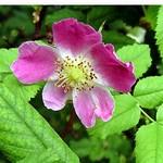 Fotos Rosa rubiginosa