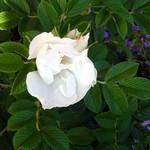 Fotos Rosa rugosa