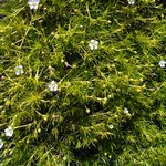 Sagina subulata - Gelbblättriges Sternmoos Aurea