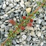 Salix lindleyana -