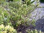 Photos Salix x sepulcralis Tristis