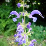 Photos Salvia haematodes