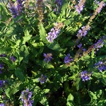 Fotos Salvia nemorosa