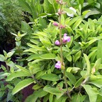 Photos Salvia officinalis