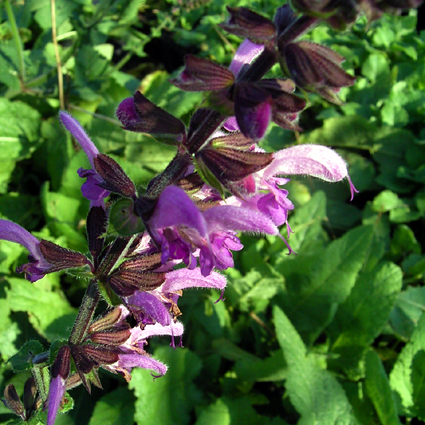 Photos Salvia pratensis ssp. pratensis - Sage