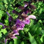 Photos Salvia pratensis ssp. pratensis