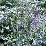 Photos Salvia pratensis ssp. haematodes