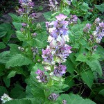 Photos Salvia sclarea