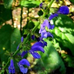 Photos Salvia tesquifolia
