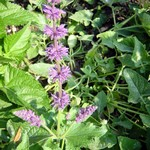 Photos Salvia verticillata