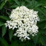 Photos Sambucus nigra Aurea