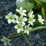 Photos Saxifraga paniculata